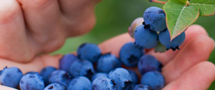 blueberry_plantation
